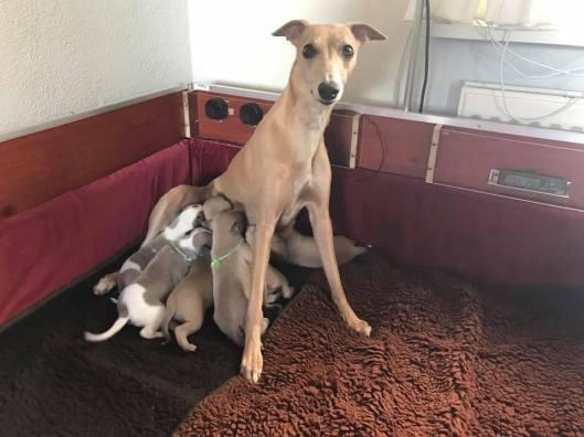 Aprille met trosje pups 2 weken